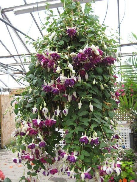 Flower Varieties For Hanging Baskets : Best fuchsias varieties images on plants