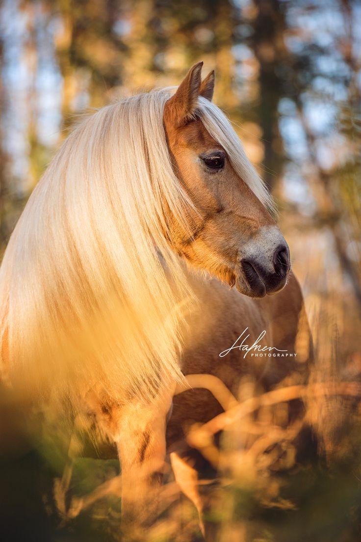 Haflinger Stute mit langer Mähne posiert im Wald für Portrait Fotos |  Pferd | Bilder | Foto | Fotografie | Fotoshooting | Pferdefotografie | Pferde…