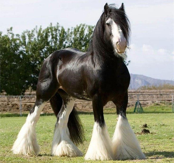 A beautiful Clydesdale...