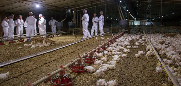 Perdue Farms Releases Its First Chicken Welfare Report #news #alternativenews