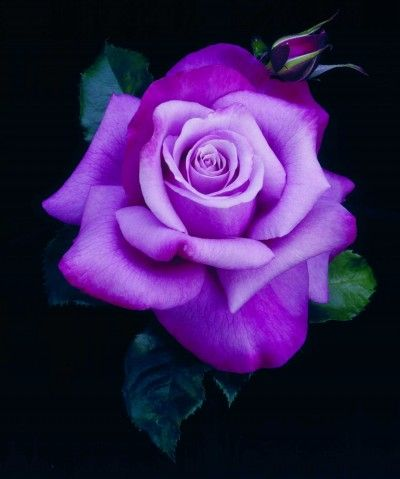 73 best images about purple roses on pinterest barbra for Purple rose pictures