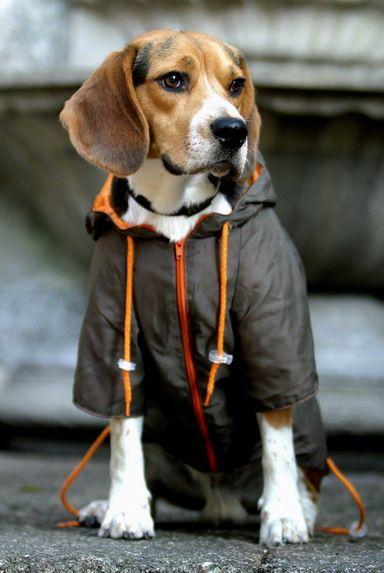 Ropa para perros Beagle - http://razabeagle.com/ropa-para-perros-beagle/