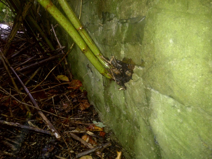 Japanese knotweed growing through a  wall!