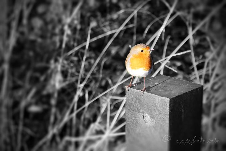 https://flic.kr/p/RPKQqD | robin... | Thank you all so much for visiting and all your kind comments... ;-)   YouTube  blog website  Getty Images