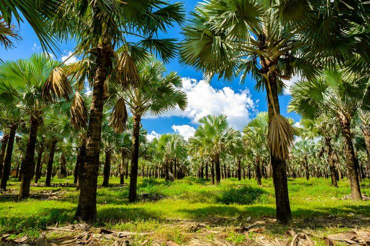 Un campo lleno de palmeras a la vera de la carretera. Paisajes que se repiten en cada uno de los rincones tropicales del mundo. Como no podía ser de otra manera, los paisajes de #Miami también están embellecidos por esta vegetación. http://www.bestday.com.mx/Miami-area-Florida/