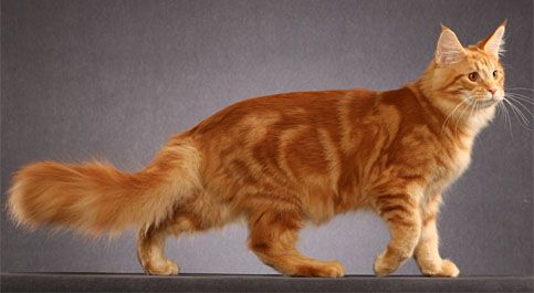 #MaineCoon #Red #Tabby #Blotched #ClassicTabby #Cats