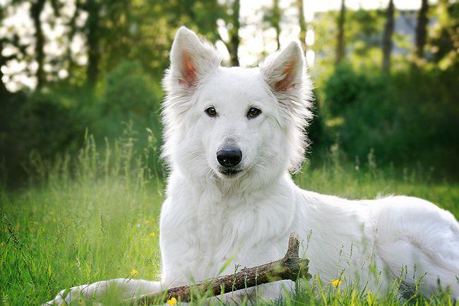 Le #BergerBlancSuisse est un chien de Berger originaire d'Allemagne. C'est un officier de cavalerie Prussien qui crée la race en 1890, en effectuant des croisements.  C'est un chien de taille moyenne, musclé et robuste. Ses yeux sont en amande, ses oreilles droites. De couleur toujours blanche, son poil est double, de longueur moyenne ou longue.  Concernant son caractère, c'est un chien attentif et vigilant. Très attaché à son maître, il n'aime pas la solitude.  #Croquetteland #chien #dog