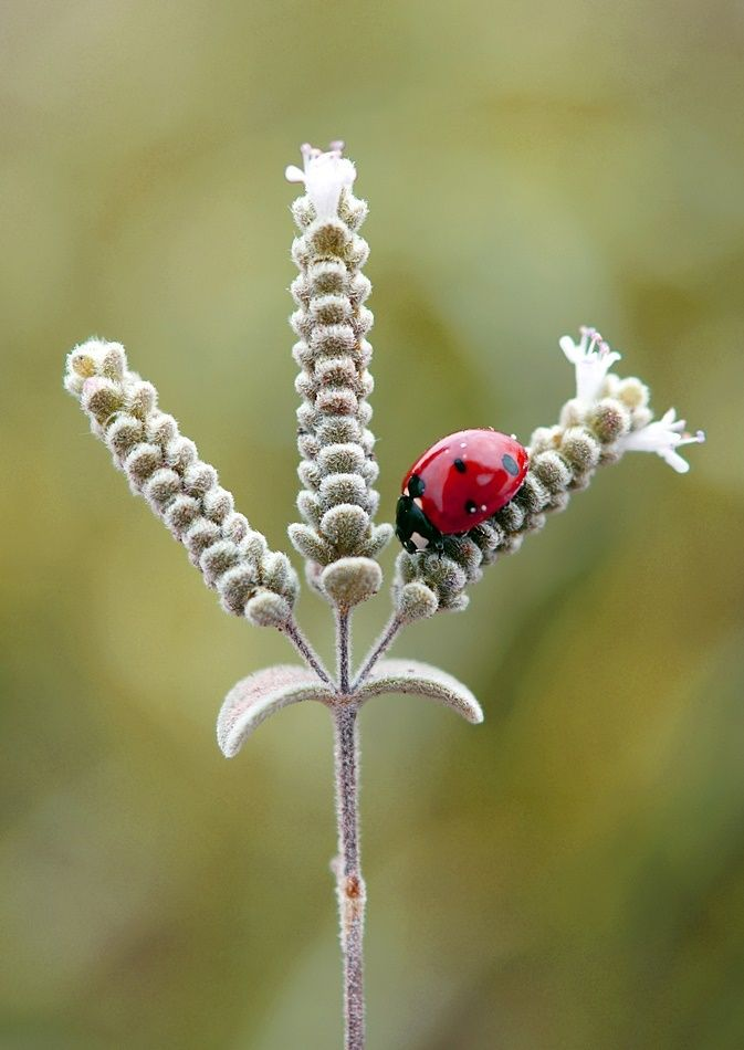 Ladybirds Invade Limpsfield: 727 Best Images About Ladybugs On Pinterest