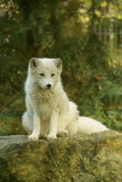 mystic-revelations: Artic Fox at Osnabrueck Zoo Byrobineffing Arctic Fox Facts: Mating season for Arctic foxes usually lasts from early Sep...
