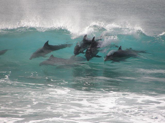 Surfing with dolphins, Seal Rocks, NSW, Australia