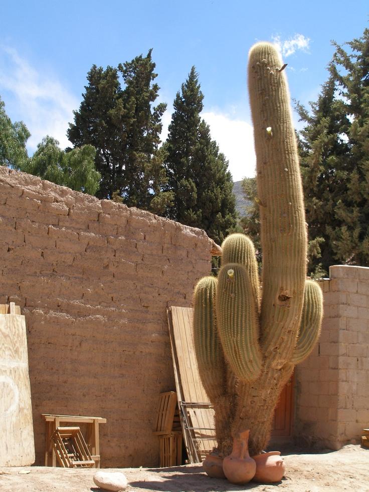 Purmamarca Cactus