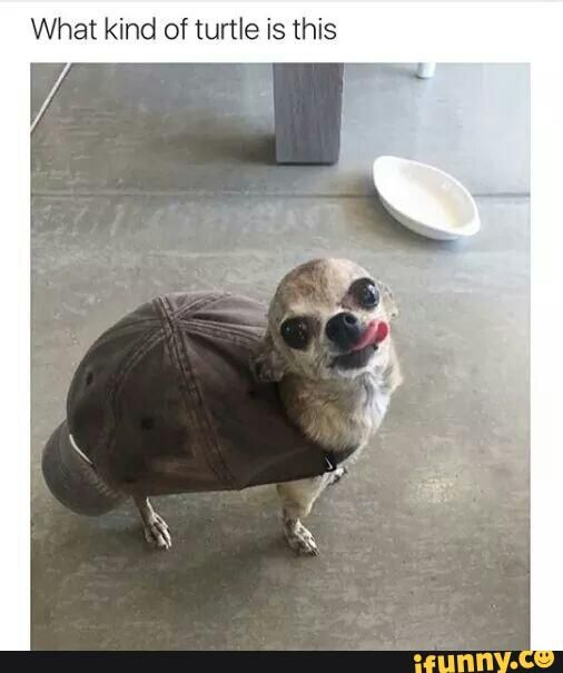 chihuahua, doggo, turtle, cap, cute