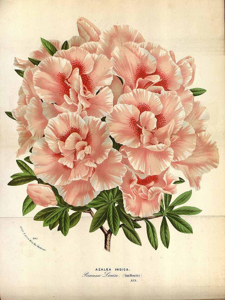 Rhododendron indica var. Princesse Louise [syn. Azalea indica L.] [as Azalea indica L. var. Princesse Louise]  Houtte, L. van, Flore des serres et des jardin de l'Europe, vol. 19: t. 0 (1845)