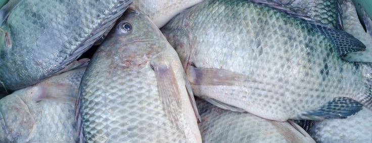 """Nicknamed """"aquatic chicken,"""" this fast-growing fish is both lauded as an excellent, sustainable source of protein and denounced as being """"worse than bacon."""" Who's right? We dived deep into the research on tilapia to find out."""