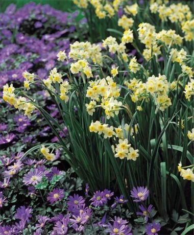 Narcissus Minnow - Tazetta Narcissi - Narcissi - Flower Bulb with anenome blanda Blue Shades.Index