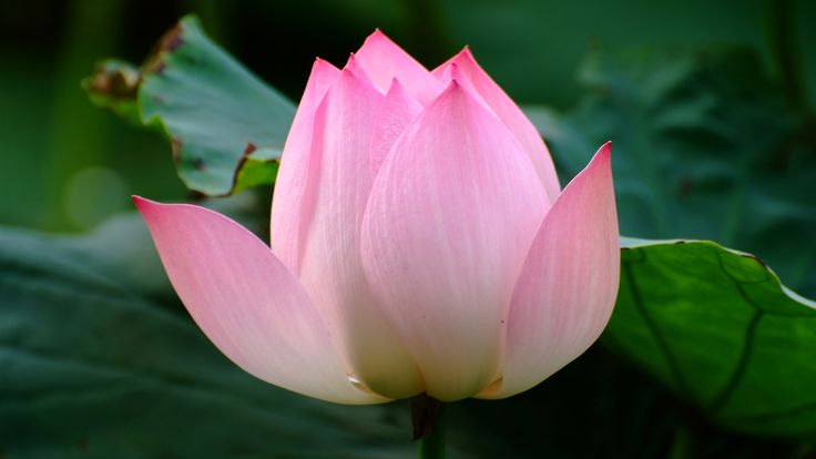 Lotus Flower Images Wallpaper