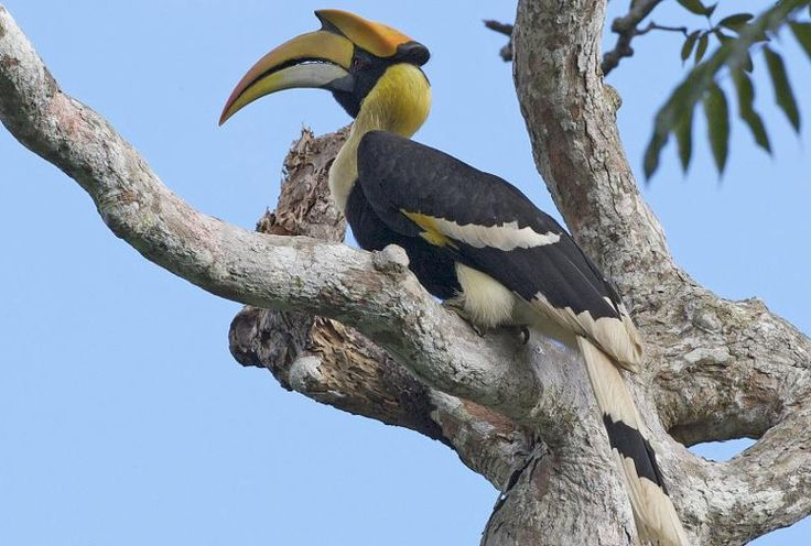 Great hornbill, Langkawi, Malaysia. Image by Lip Kee CC BY-SA 2.0