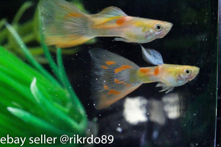 1000 images about akvarium guppy on pinterest for Delta fishing spots