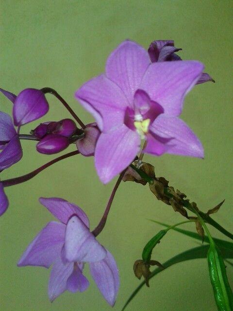 Orquídeas de tierra