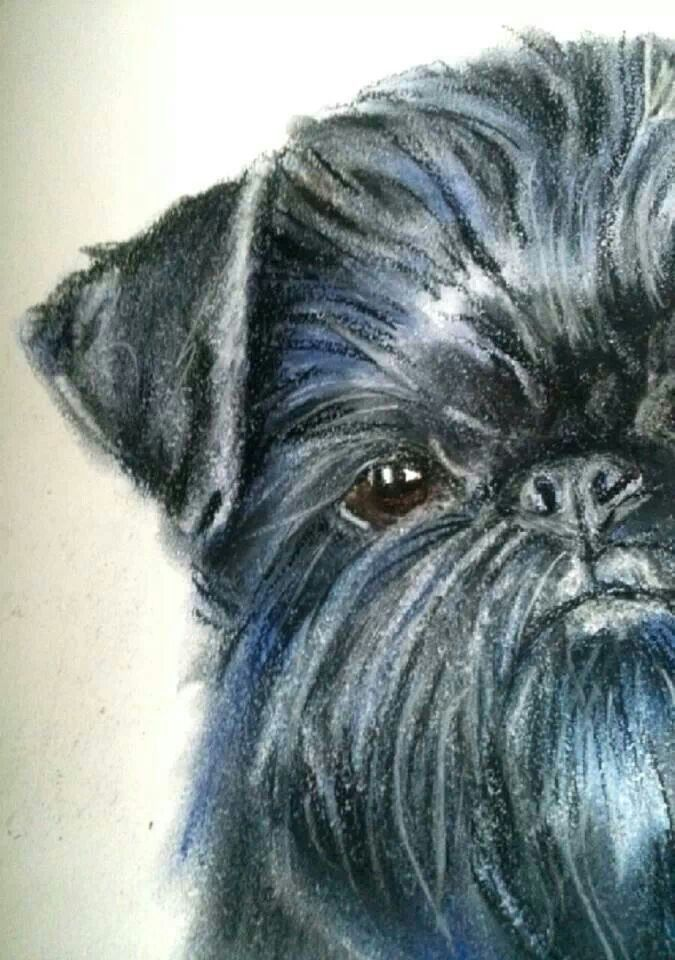 Brussels griffon. Close up