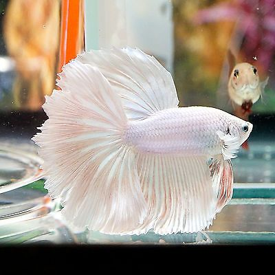 1000 ideas about exotic fish on pinterest tropical fish for Betta fish light