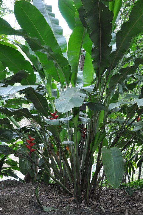 Bihai claw i lobster claw 1 typical height 2 5 3m for Typical landscaping plants