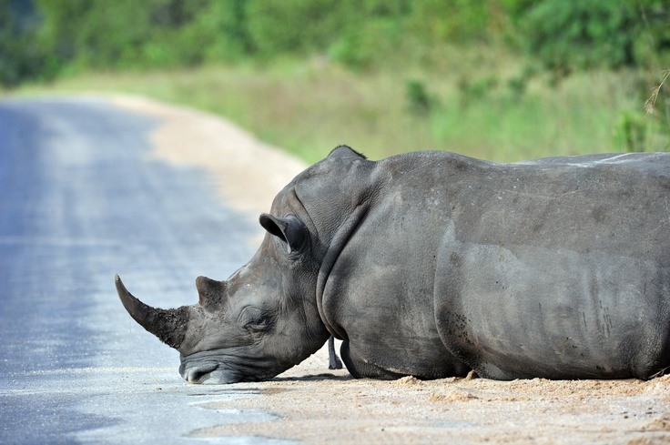 a rhinoceros resting in the Kruger National Park near Nelspruit, South Africa.