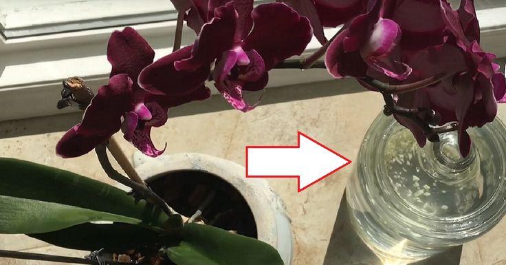 A fokhagyma valódi kincs az orchidea számára! Egy hónap alatt kivirágzott az orchideám!