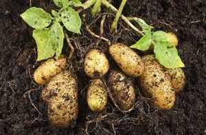 How best to grow potatoes in a planter