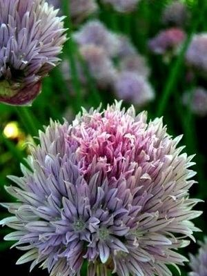 Chive: Chive Flower, Flore, Flora, Creatures Nature, Beauty Bloom, Flower Lici, Chive Bloom, Butterflys Gardens, Chive But