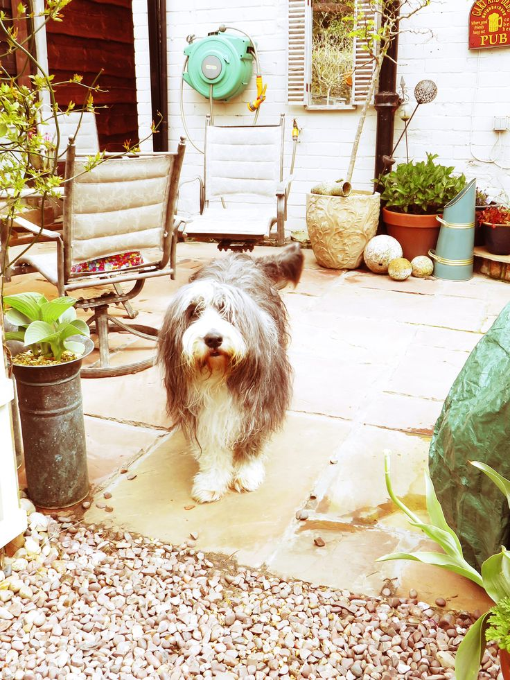 Bearded collie by Debbie on Bearded Collie
