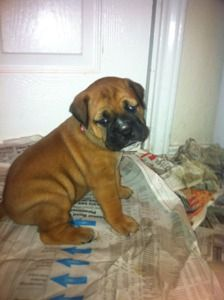 Bull Mastiff Puppies- and one of these....