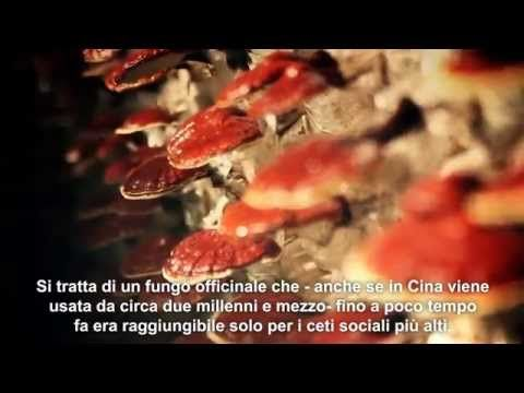 Ganoderma : the Best Herb according to Traditional Chinese Medicine