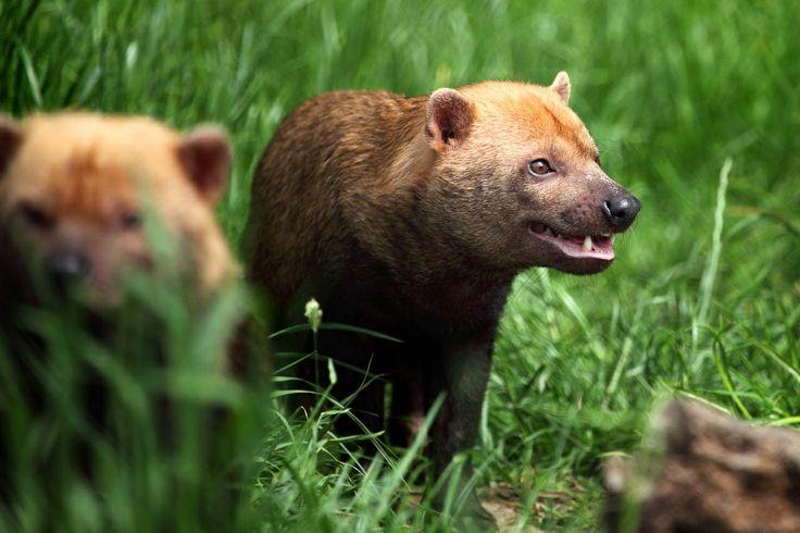 south american bush dog | ... : TRAILING THE MITLA – A DOG-LIKE CAT, OR A CAT-LIKE DOG