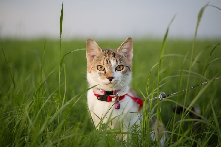 SIKANTISPETS: Do you need a harness and leash for your cat? Here are the best models.