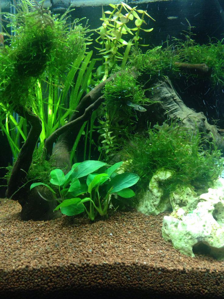 Les 25 meilleures id es de la cat gorie aquarium 60l sur for Poisson aquarium 60l