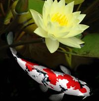 Koi and lily - I would love a koi pond, but I don't think I could keep the dogs out of it!