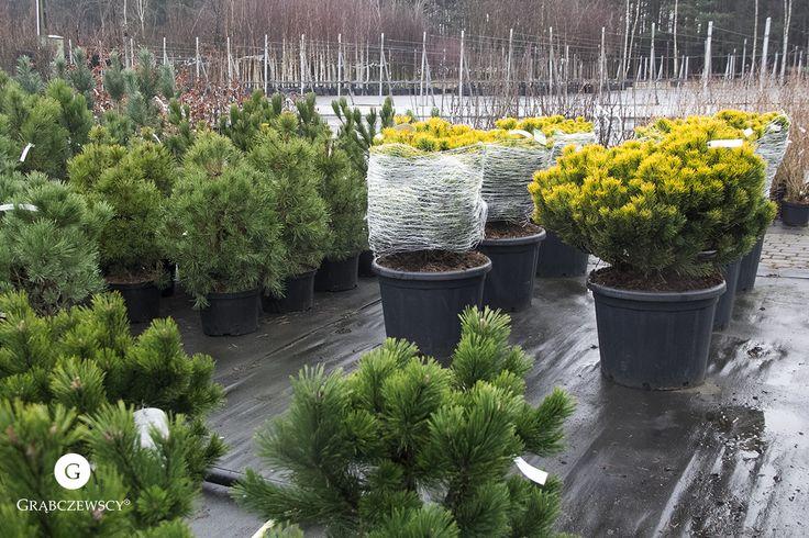 Nasze piękne iglaki! :)  #Garden #Grabczewscy #Plants #Trees #Work