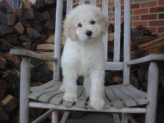 Labradoodle puppy for sale Goldendoodle puppy for sale labradoodle va labradoodle md labradoodle dc goldendoodle va goldendoodle md goldendoodle dc labradoodle for sale goldendoodle for sale