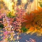 Fall color with Bubblegum Mint and 'Tiger Eyes' Sumac - Albuquerque - Waterwise Landscapes Incorporated