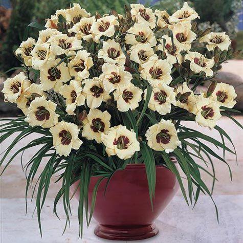 Perennials, Bulbs & Flowers - Pandora's Box Daylily