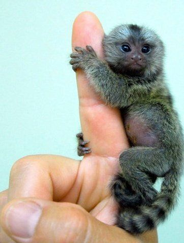 Tiniest Monkey Ever: I need one: called the Finger Monkey