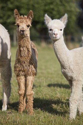 Bozedown Alpacas, Premier British Alpaca Breeder with alpacas for sale, Setting the standard for Suri and Huacaya Alpacas - Alpaca, Alpacas, Bozedown Alpacas, Alpacas UK, Alpaca UK, British Alpaca Breeder, Suri Alpacas, Huacaya Alpacas, Alpaca Studs, Alpaca Training Days