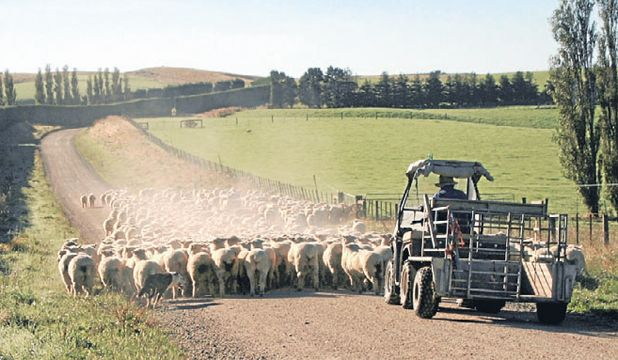 Allan Smith with dogs Snow and Sam moving stock along Benio Rd, which runs through the family farm in Southland