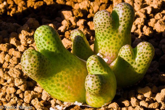 Conophytum marginatum haramoepense by pere98, via Flickr