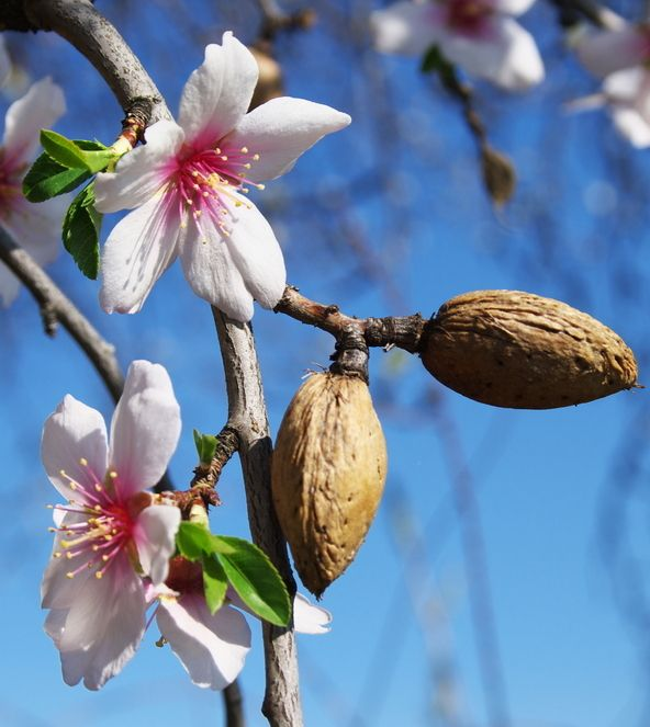 How to Grow Almond Trees | The Home Depot Community                                                                                                                                                                                 More