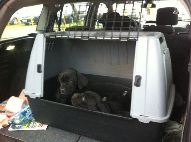 Cuccioli di cane corso in vendita a Pecs a 100 euro