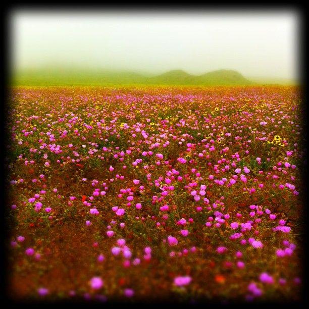 Blooming desert/Desierto florido. IV Región - Chile.