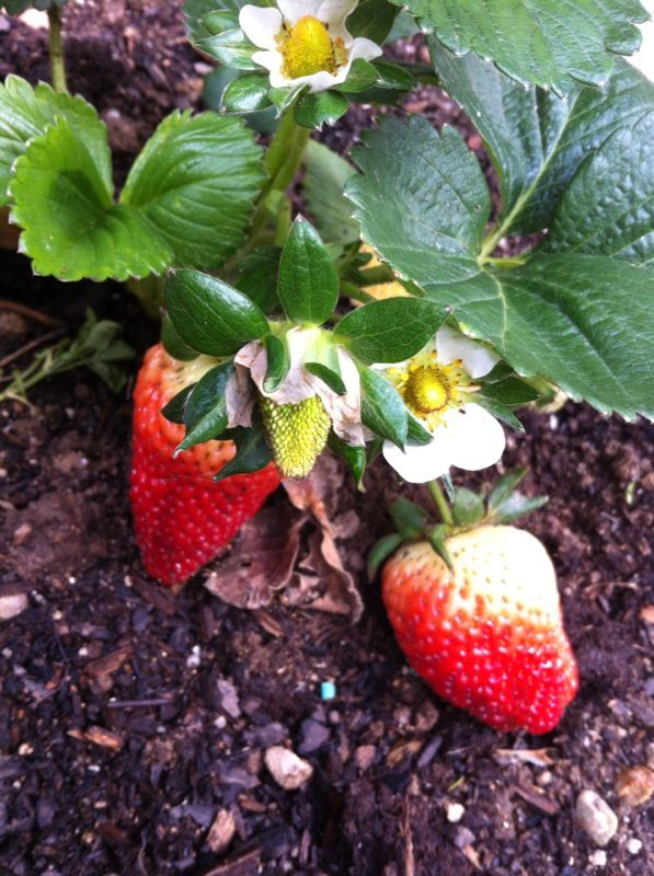 The sweetest strawberries! Yummy!!