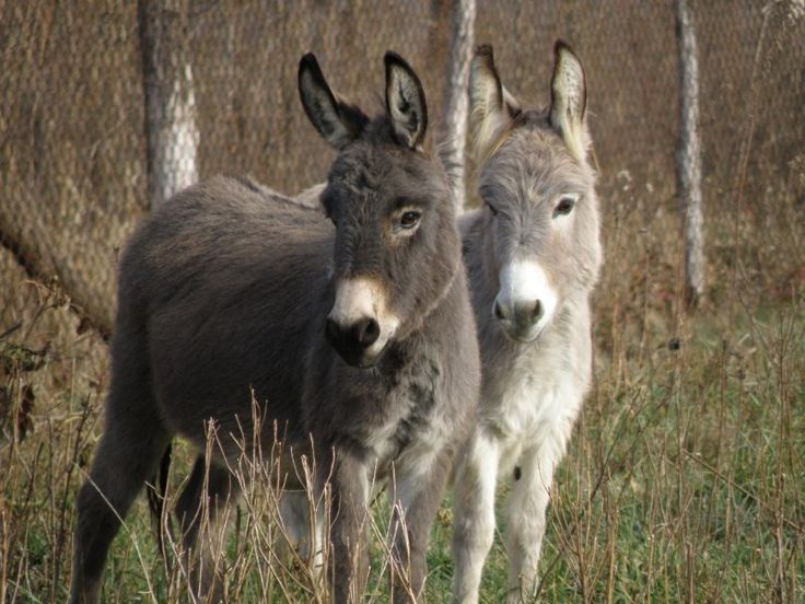 263- Donkey's in Love